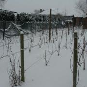 Le vignoble sous la neige