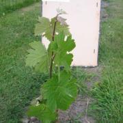 La vigne le 12-06-05