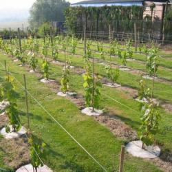Le vignoble  01-07-06